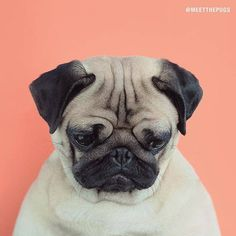 Make a new addition to your sofa and showcase your love of pugs. The cover features a print of an adorable pug looking guilty. Dog Wallpaper Iphone, Cute Dog Wallpaper, Walpaper Iphone, Trendy Wallpaper, Pet Dogs, Dogs And Puppies, Dog Cat, Terrier Puppies, Bulldog Puppies