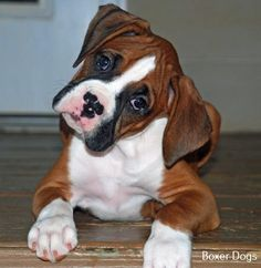 Cachorros boxer by cathryn Boxer And Baby, Boxer Love, Baby Dogs, Doggies, Funny Boxer, Funny Dogs, Cute Puppies, Cute Dogs, Animals Beautiful