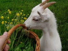 animal, goat, and nature εικόνα