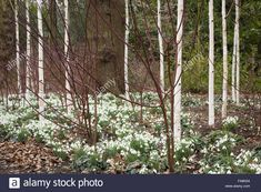 Snowdrops beneath a grove of silver birch trees (Betula utilis var. jacquemontii 'Doorenbos') in the Winter Garden at Dunham Massey, Cheshire. Stock Photo