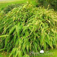 Sasa Tessellata (Long Leaf Bamboo)