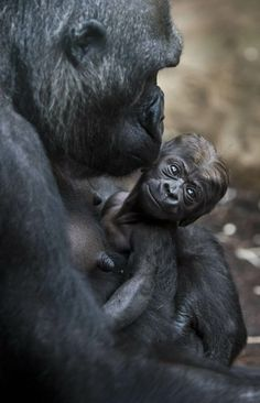Gorilla mother Dian holds her baby Quembo at the zoo in Frankfurt, Germany