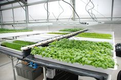 Hydroponic Gardening Hydroponics systems back several hundred years, and there is evidence that ancient civilizations grew plants in water. Hydroponic Farming, Backyard Aquaponics, Hydroponic Growing, Hydroponics System, Growing Plants, Diy Hydroponics, Plant Growth, Water Plants, Cactus Plants