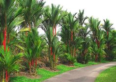 10 Lipstick Palm Tree / Red Sealing Wax Palm * 10 Seeds - One of the world's most beautiful palms!Cyrtostachys renda 10 Lipstick Palm Tree / Red Sealing Wax Palm 10 Seeds One Palm Garden, Tropical Garden Design, Tropical Backyard, Tropical Plants, Palm Trees Landscaping, Florida Landscaping, Tropical Landscaping, Backyard Landscaping, Landscaping Ideas