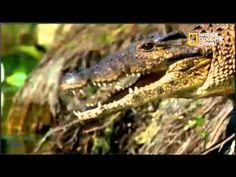 IMPACTO ANIMAL - LA SELVA AMAZONICA // NATIONAL GEOGRAPHIC // PARTE 4