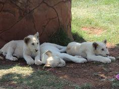 Rhino and Lion Park J'burg