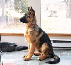 German Shepherd pup- I might need to adopt one if these...loving and protective