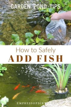 How to safely add fish including koi and goldfish to a backyard garden pond. pond How to Add Fish to a Backyard Garden Pond Patio Pond, Diy Pond, Ponds Backyard, Garden Ponds, Koi Ponds, Backyard Waterfalls, Outdoor Fish Ponds, Indoor Pond, Big Leaf Plants