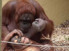 The Orangutan mom has a play with the baby and bites the baby playfully. Then she hits the baby's head with her fist repentantly. It seems all just part of being playful.