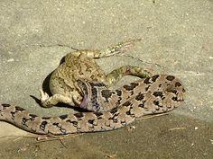 Snake v.s. Frog