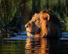 "Gefällt 7,453 Mal, 31 Kommentare - Wildlife Animals & Nature (@wildlife.hd) auf Instagram: "". Photography by © (Michael Viljoen). An African lion makes its way across the flooded Okavango…"""