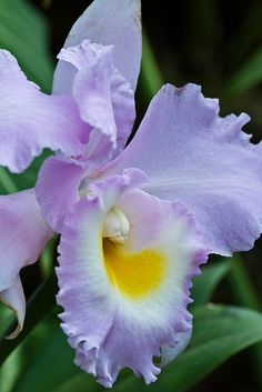 Beautiful lavender Cattleya