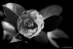 camellia b/w
