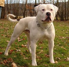 american bulldog   The Original American Bulldog - Joshua Kennels