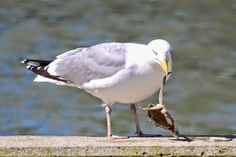 Seagull lunch on crab