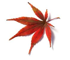 "japanese maple leaf | Red leaf from Japanese Acer Maple Tree"" by Camille Wesser 