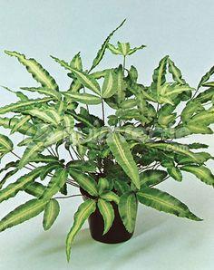 scindapsus pictus green cie pinterest plante interieur plante jardin et jardins. Black Bedroom Furniture Sets. Home Design Ideas