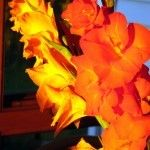 Growing Gladiolus Plants - Tips On Caring For Gladiolus