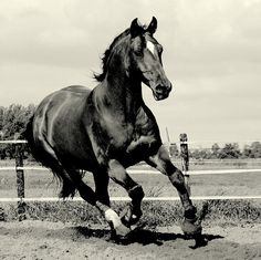 The Beauty black horse