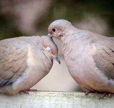 Mourning doves - federally protected from domestication, but so freakin' cute!!!