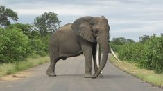 Big Foot with Massive Tusks😍😍 Biggest Elephant, Kruger National Park, 45 Years, Bigfoot, Elephants, Year Old, Animals, One Year Old, Animales