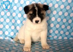 This charming Akita puppy has a wonderful personality. This puppy is vet checked, vaccinated, wormed and comes Akita Puppies For Sale, Cute Puppies, Dogs And Puppies, Akita Dog, Yorkshire Terrier Puppies, Puppy Care, Cool Pets, Cute Baby Animals, Dog Owners