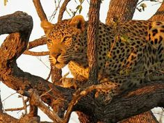 This male leopard was pinned in the tree by the 4 spotted hyaenas below so he had to pose for a photo!