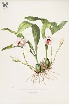 Lycaste virginalis [as Maxillaria skinneri] The Orchidaceae of Mexico and Guatemala (1837-1843) [Mrs. Withers]