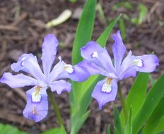 Woodland Iris - How lucky can I get... these guys are showing off for Saturday's market