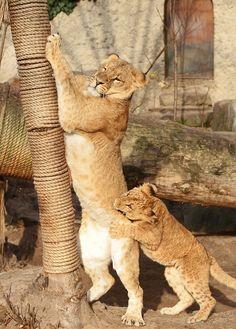 careful where you bit me junior........ Funny Wildlife, Kianga en Kacela artis IMG_1074 by j.a.kok on...