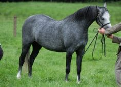 What is a B?  Section B Mare Called Hilin Lorna | Welsh Pony With The 'Wow' Factor
