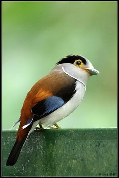 The Silver-breasted Broadbill (Serilophus lunatus) is a species of bird in the broadbill family Eurylaimidae. It is found in Bangladesh, Bhutan, Cambodia, China, India, Indonesia, Laos, Malaysia, Myanmar, Nepal, Thailand, and Vietnam.