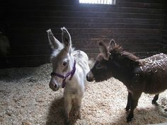 theanimalblog:Baby donkeys!(submitted by istoodoutsideherheaven)