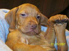 Visla puppy