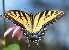 Top 10 Plants For Swallowtails