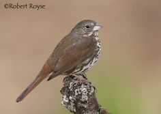 """The sooty fox sparrow contains the darkest-colored taxa in the genus Passerella. It is currently classified as a """"subspecies group"""" within the fox sparrow pending wider-spread acceptance of species status."""