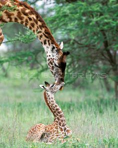 BABY GIRAFFE and MOTHER Photo- 8 X 10 Print - Baby Animal Photograph, Wildlife Photography, Wall Decor, Nursery Art, African Safari, Nature. $25.00, via Etsy.