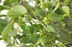 Grow Your Own Mistletoe - Pumpkin Beth Green Flowers, Green Plants, Cut Flowers, Green Leaves, White Flowers, Plant Leaves, Mistletoe Plant, Dried Berries, Bottle Garden