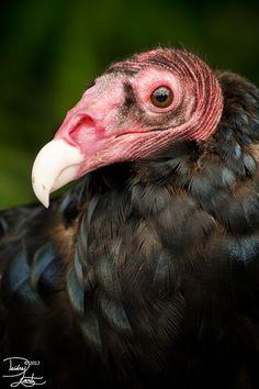 Turkey Vulture Portrait by DeeOtter.deviantart.com
