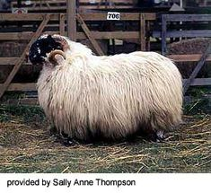 Scottish Blackface - an attractive, hardy, old breed - it's likely that the breed developed in the border area of Scotland and England.
