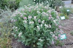 Asclepias speciosus, Showy Milkweed. CA native. Attracts butterflies. All milkweed is great for the garden.