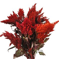 FiftyFlowers.com - Orangie Red Feather Celosia- We had these in Lisa's wedding and I thought they were really striking
