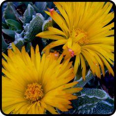 Faucaria tigrina floral detail