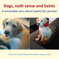 Just over a year ago, H.H. Bhavana Shinde met Sophie an adorable Labrador, who was hyperactive and excitable, constantly jumping around. Immediately after the arrival of H.H. Bhavana Shinde, Sophie's behaviour changed dramatically - almost as if a switch got flipped. Sophie was a different dog and was loving, playful but calm. SSRF has conducted spiritual research on animal behaviour in response to spiritual vibrations.   #dogs #spiritual Animal Behaviour, Saint A, Behavior Change, Different Dogs, No Response, Labrador, Spirituality, Calm, This Or That Questions