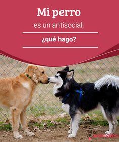 Mi perro es un antisocial, ¿qué hago?  Tener un perro antisocial no es del agrado de nadie, pero si el tuyo es así, tranquilo, no está todo perdido. Sigue estos consejos. #antisocial #consejos #perro #adiestramiento