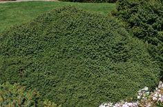 Picea abies ' Little Gem ' Dwarf Norway Spruce