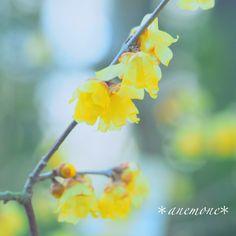 #ロウバイ#蝋梅#wintersweet#flower