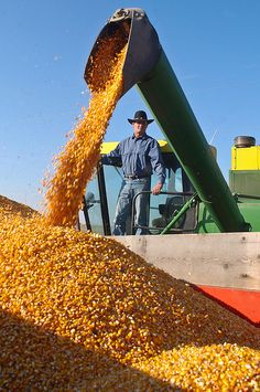 Corn harvest in the Country.