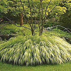 "Golden Hakone Forest Grass. Green and bright yellow leaves form glowing mounds just 12-14"" tall. Plant it along the edge of a border or pathway, tuck it into a rock garden or patio planter. Tolerates shady areas. Ships in a 3"" pot. Hakonechloa macra 'Aureola'"