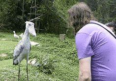 "gifsboom: "" Video: Huge Shoebill Bird Politely Bows to Tourists """